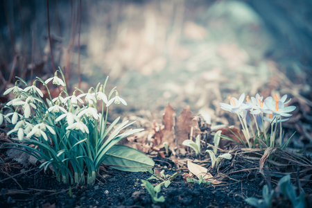 Spring landscape with snowdrops and  crocuses flowers, outdoor springtime nature in garden or park 版權商用圖片