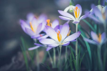 크로커스 꽃, 야외 봄 날 자연의가 까이 서