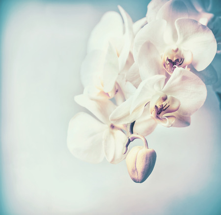 Close up of white orchids flowers at pastel blue background , copy space