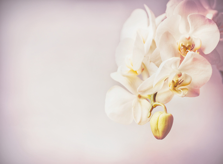 Close up of orchids flowers at purple pale background , copy space Stock Photo