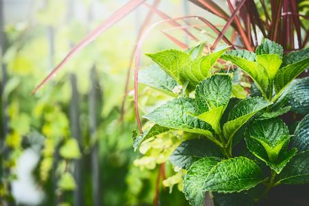 Summer ornamental plant in green garden , outdoor nature Stock Photo