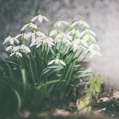 Snowdrops blooming, outdoor. Springtime flowers . Spring nature background. Retro toned