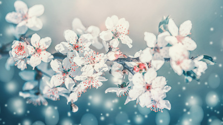 Springtime blossom. White cherry spring blossom, flowers bloom at turquoise blur nature background. Blossoming of flowers, close up