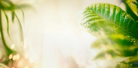 Té nature fond avec feuilles vertes, éclairage de rayon de soleil et de bokeh. Bannière, bordure ou modèle pour votre conception Banque d'images - 94985804
