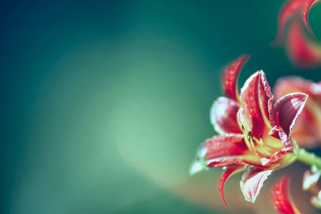 Red lily flowers at dark blurred turquoise background