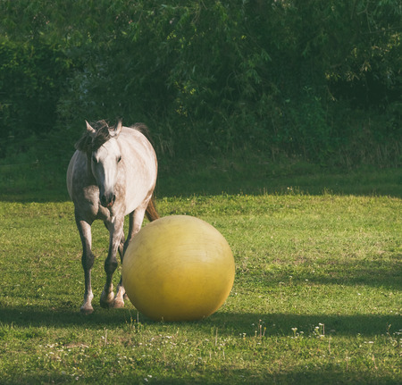 Gray horse play ball at green grass