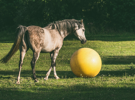 Arabian horse playing ball on green grass