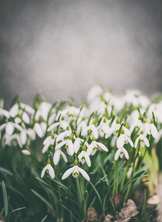 Snowdrops flowers  blooming at wall background, spring outdoor nature Stok Fotoğraf