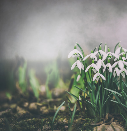 Springtime nature background with snowdrops flowers. Spring outdoor nature. Retro toned