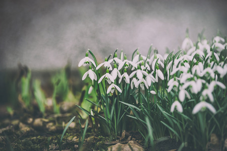 Lovely snowdrops on garden bed,  outdoor. Springtime flowers . Spring nature background. Retro toned
