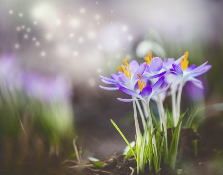 Beautiful springtime nature background with purple crocus blooming and bokeh. Dreamy soft focus effect.