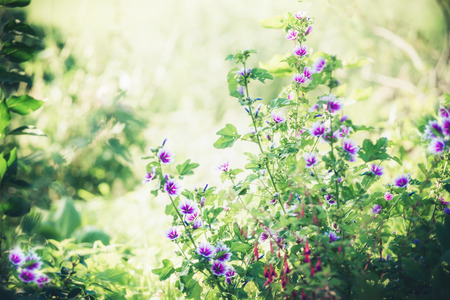 Beautiful purple hollyhocks flowers in summer garden, outdoor nature