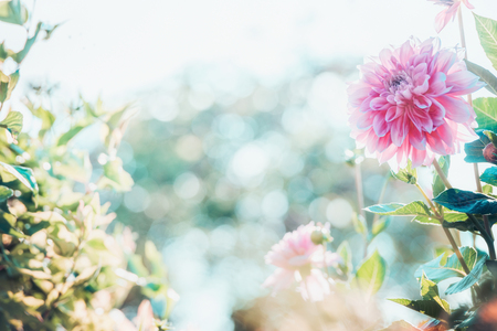 Summer garden background with beautiful pink dahlia flowers , outdoor nature