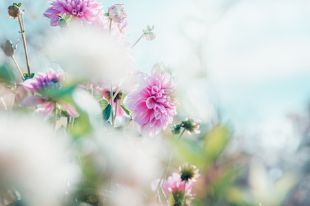 Summer background with beautiful pink dahlia flowers , outdoor nature 스톡 콘텐츠