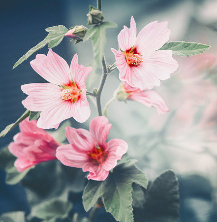 Pink mallow flowers, close up