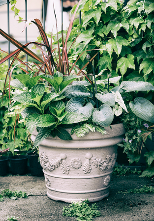 Various ornamental green plants in flower pot with hosta and red ornamental grass on balcony