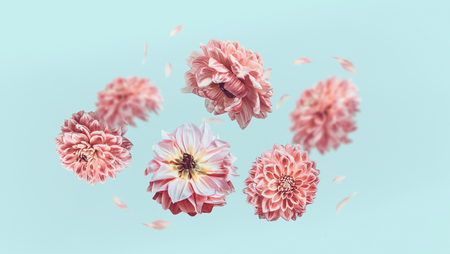 Beautiful  flying pastel pink flowers and petals at light blue background, creative floral layout, horizontal