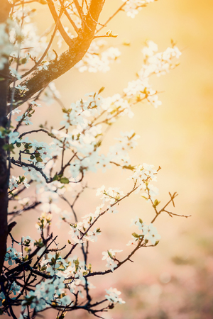 Spring nature background with cherry blossom at sunset Standard-Bild - 97944085