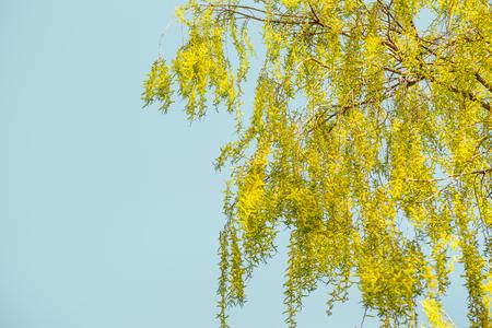 空に黄色い泣く柳の花の枝と春の背景 写真素材