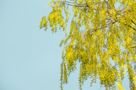 Spring background with yellow weeping willow blossom branches at sky