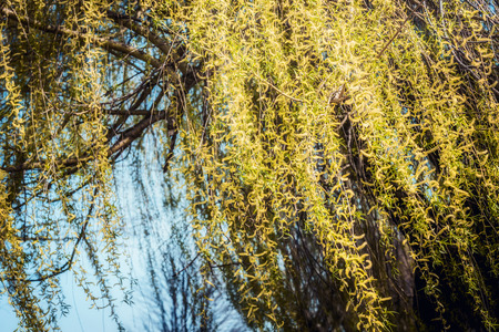 Yellow weeping willow blossom branches at sky