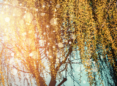 Spring nature background with yellow weeping willow blossom at sunset with bokeh 写真素材