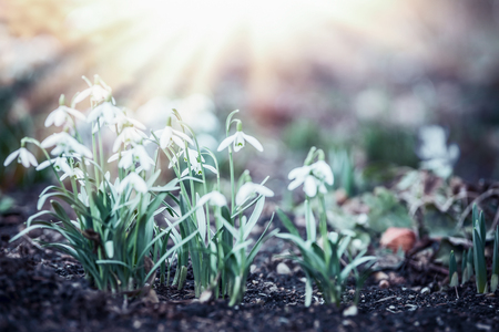 Snowdrops flowers with sun rays in garden, park or forest, spring outdoor nature