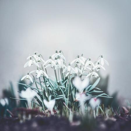 Fiori graziosi di bucaneve, fioritura all'aperto di primavera