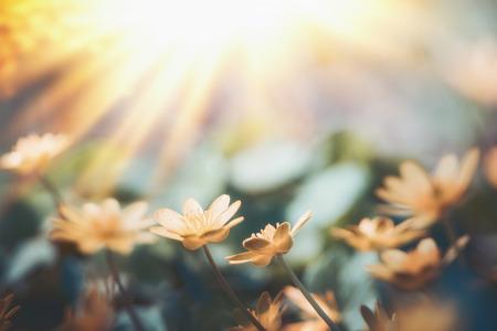 Gele kleine bloemen bij achtergrond van de zonsondergang de lichte, wilde openluchtaard Stockfoto - 99227343