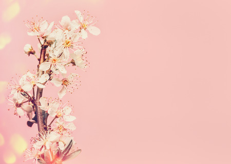White cherry blossom at pink background, spring time nature with bokeh 版權商用圖片