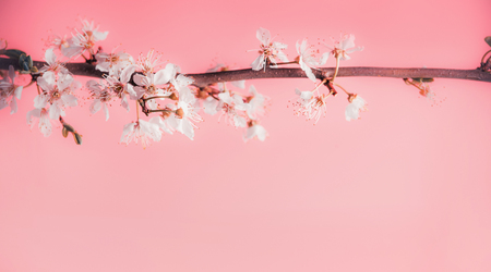 Beautiful spring background with white cherry blossom at pastel pink background, frame Banco de Imagens