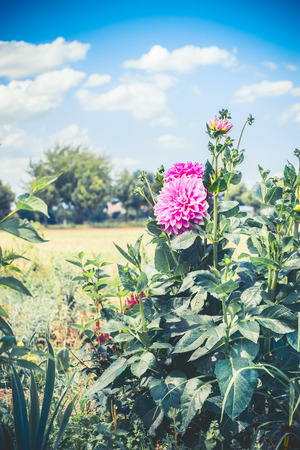 Pink Dahlia flowers in garden, summer outdoor nature, floral gardening Archivio Fotografico - 100055261