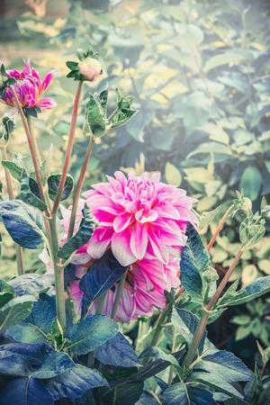 Pink Dahlia flowers in garden, summer outdoor nature Archivio Fotografico - 100055262