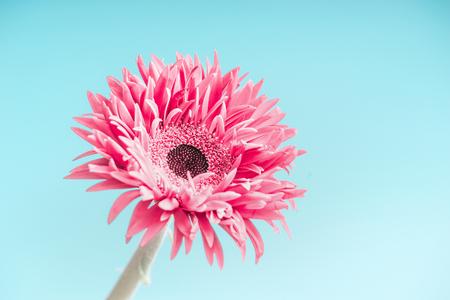 Pink flower close up at light blue background