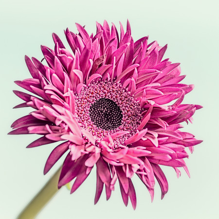 Close up of pink flower bloom : daisy, gerbera or aster