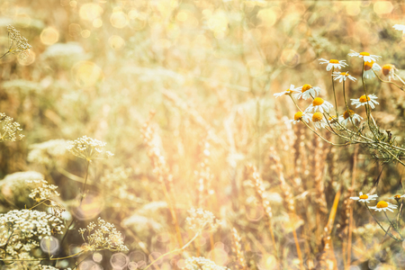 Summer nature background with field and daisies flowers, outdoor Stock Photo