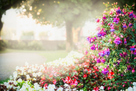 Summer garden or park landscaping with beautiful fuchsia flowers bed , outdoor nature