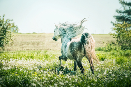 Horse with horse with a developing mane running gallop on summer pasture Stok Fotoğraf