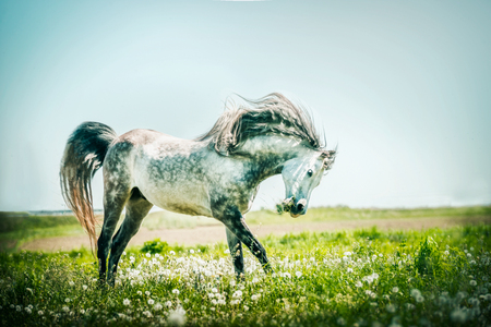 Gray stallion horse running on summer pasture