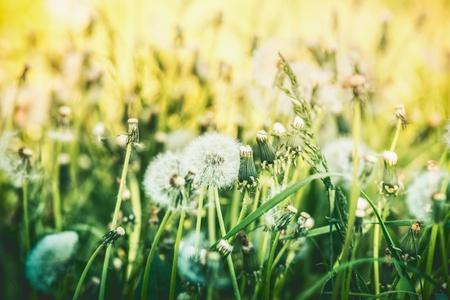 Dandelions summer field, outdoor nature Stockfoto