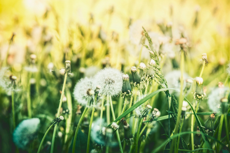 Dandelions summer field, outdoor nature Foto de archivo