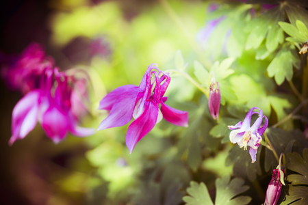 Close up of pink columbine flowers in garden