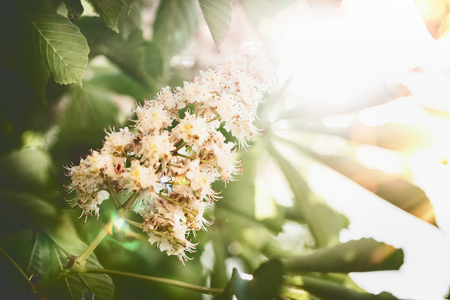 Beautiful summer nature background with green leaves and chestnuts blossom with sunbeam backlit