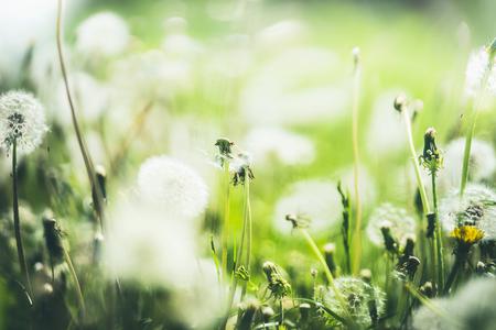 Summer dandelion nature background, outdoor, pasture