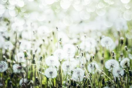 White Dandelions field background, summer wild nature
