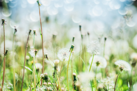 Summer day nature background with dandelions field, sky and bokeh Stock Photo