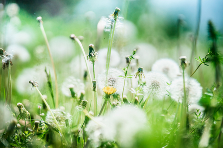 Pretty summer nature background with wild grasses and dandelions flowers, outdoor Stockfoto