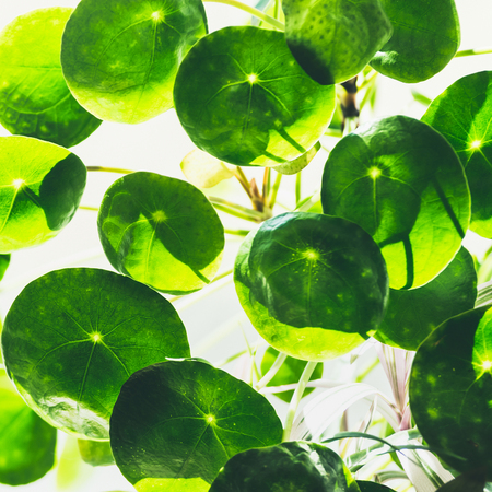 Nature background with close up of Green round circle leaves of Chinese money plant ( missionary plant ) Stock Photo - 101755129