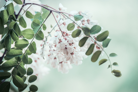 Close up of acacia blossom branch on blurred nature background