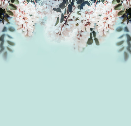 Nature background with beautiful acacia blossom, front view